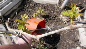 алгоритм подкормки винограда летом