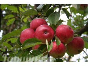 мельба яблоня