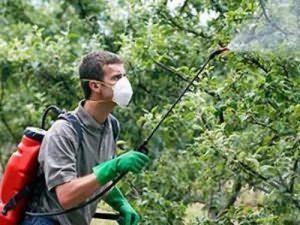 опрыскивание яблони против парши