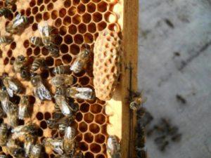 наращивание пчел в зиму
