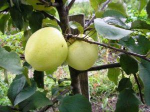 сорта яблонь народное