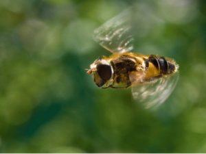 облет пчел