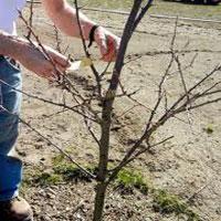 весенняя обрезка яблони