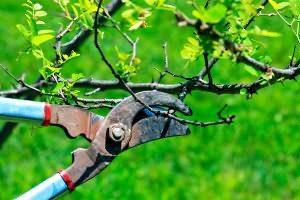 обрезка пятилетних яблонь