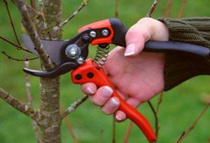 правила обрезки яблони однолетки