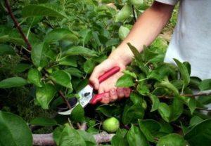 обрезаем яблоню