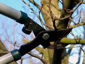 обрезка старых яблоневых деревьев