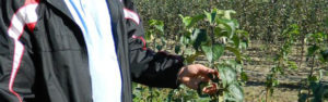 подрезка яблонь