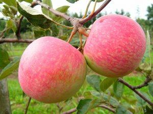 макинтош яблоня