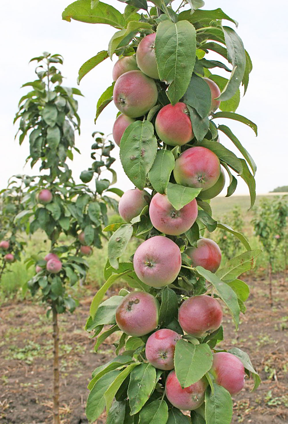 Как сделать яблоню низкой