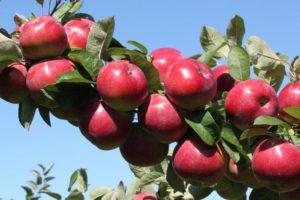 сорта яблонь анис свердловский