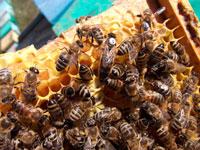 акарапидоз пчел симптомы