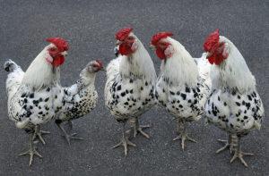 причины заражения кур