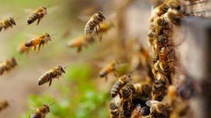 выведение пчел дома