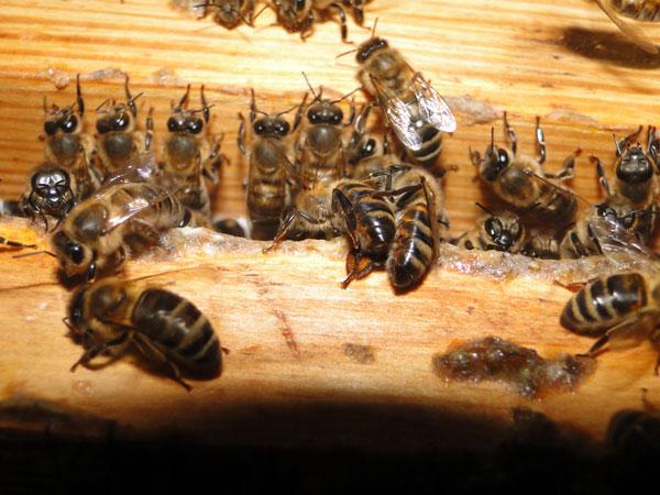 Как пчелы готовятся к зиме, и что нужно для выживания пчелиной семьи?