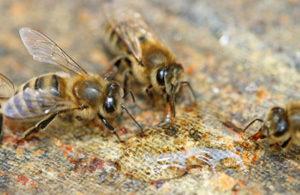 мед или сироп для подкормки