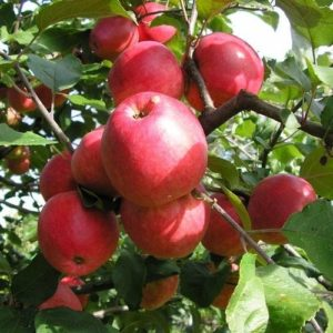 яблоня пепин