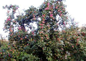 дерево яблони мельба