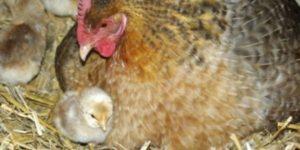 цыплята с курицей породы билефельдер