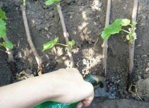 девичий виноград посадка в грунт