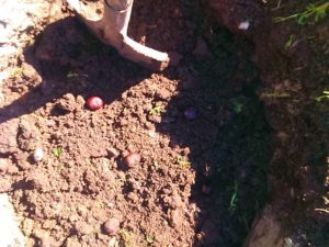 подготовка почвы для винограда