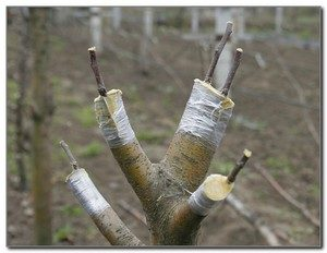 прививка яблони осенью