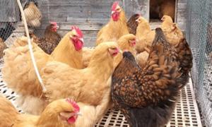 орпингтон курицы