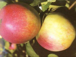 строевское яблоня