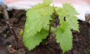 размножение дикого винограда корневыми отростками
