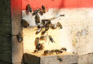 пчелиное размножение