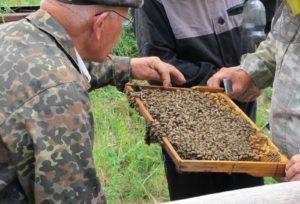 как размножить пчелиные семьи