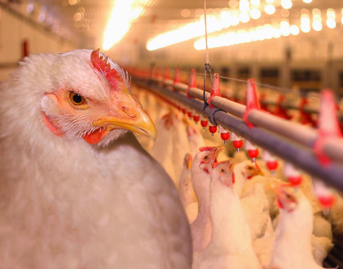 Этапы выращивание кур в птицефабрике начало