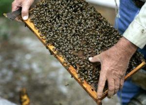 методы разведения пчел