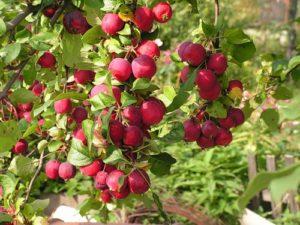 сорта яблонь для сибири