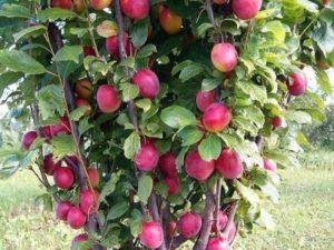 колоновидные яблони сорта