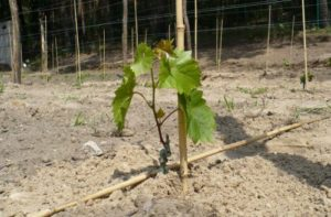 посадка черенками виноград