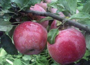 яблоня либерти