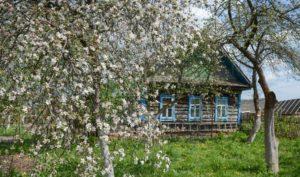 пепин шафранный цветение