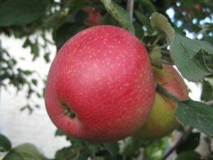 пепин шафранный сорт яблони