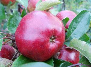 сорта яблонь антей