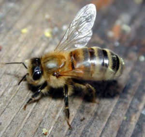 среднерусская пчела