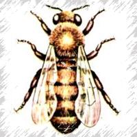 строение пчелок