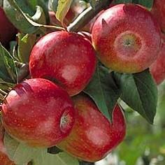 сорт свит 16 яблоня