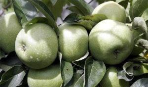 иммунные сорта яблони