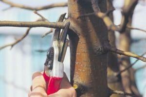 обрезка трехлетних яблонь