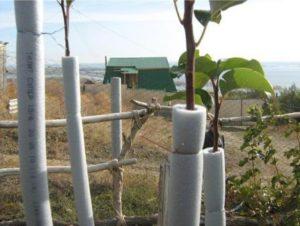 утепление саженцов яблонь