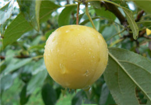сорта яблонь уральское наливное