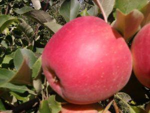 яблоня чемпион джайнт