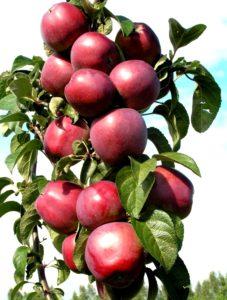 яблоня сорта васюган