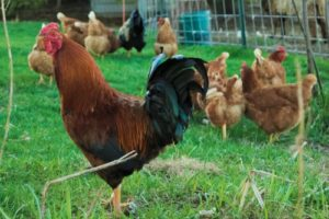 венгерский великан курицы и петух